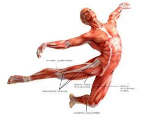 muscular diagram