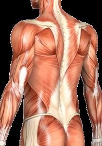 muscular torso diagram